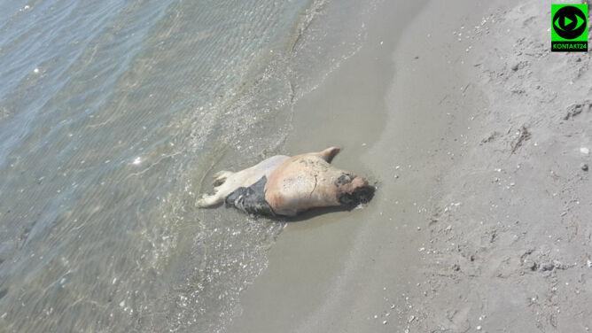 Czwarta martwa foka na polskim wybrzeżu. Miała rozcięty brzuch