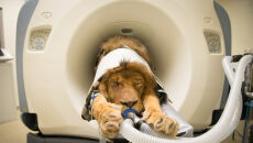 Lew został poddany tomografii (Columbus Zoo and Aquarium)
