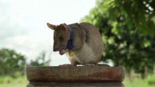 Odnalazł 71 min i 38 niewybuchów. Szczur bohater przechodzi na emeryturę