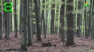 Zobacz trykające muflony z Gór Sowich